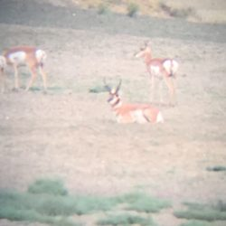 antelope in open field
